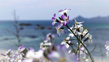 浜大根の花.jpg